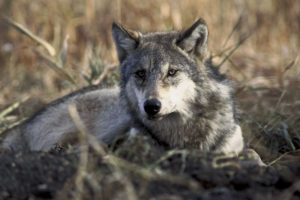 Canis_lupus_laying_in_grass